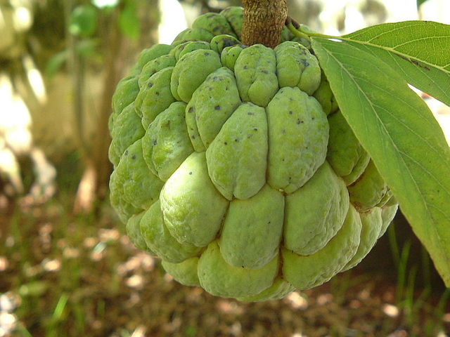 sweetsop - Caribbean Dictionary