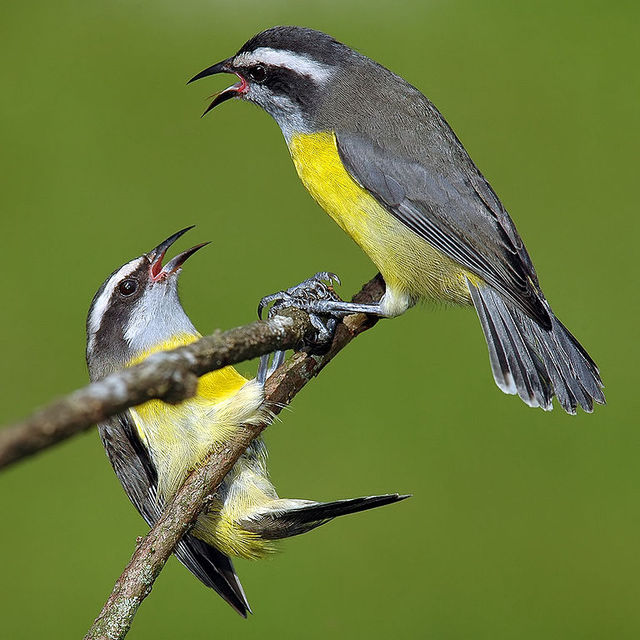 Bird with yellow breast