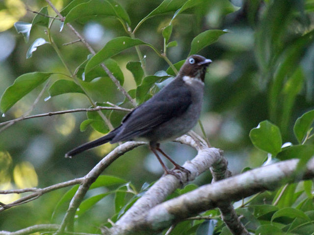 white eyed thrush